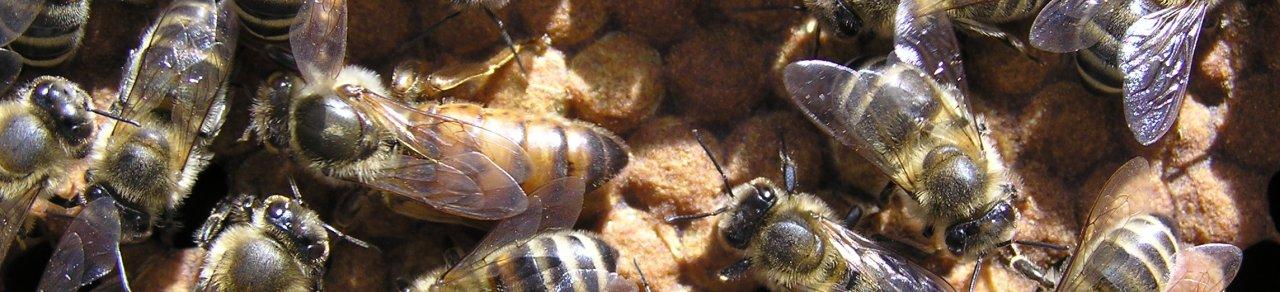 vcely.sk – včely, chov včiel, včelie produkty, choroby včiel, včelárske rastliny