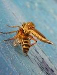 Grécky predátor včely medonosnej